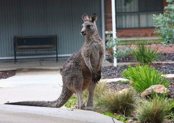 Kangaroo1_1