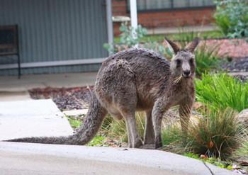 Kangaroo2_2