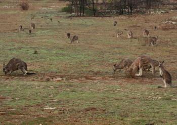 Kangaroo3_3